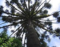 Formação embrionária do pinhão, semente do pinheiro-brasileiro, é alvo de abordagem molecular inédita capaz de auxiliar na preservação da espécie. Foto: Wikimedia