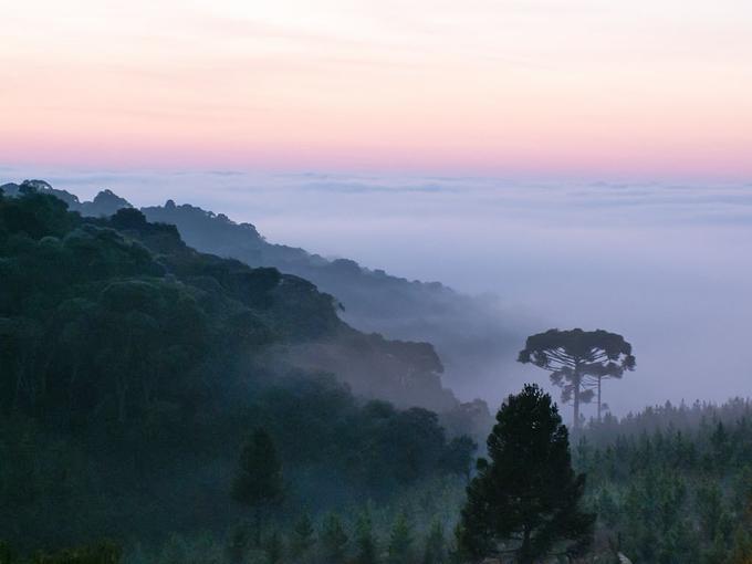 Santa Catarina: Araucária ou pinheiro-brasileiro, mirando um vale coberto de nuvens, cercada por um reflorestamento de Pinus elliottii, uma espécie de pinheiro de crescimento rápido nativa da América do Norte. Foto e legenda : Paulo R. Dellani / Wikipedia