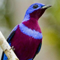 A ave mais bonita do Brasil