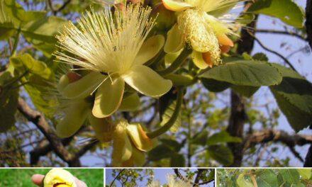 Pequi: o fruto brasileiro do qual tudo se aproveita