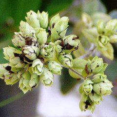 Cantinho das Plantas: o aromático e terapêutico Orégano