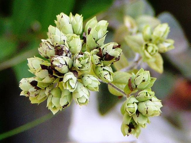 Orégano (Origanum vulgare): Orégãos em estado selvagem; secos, prontos para consumo. Em Portugal é chamado de Alcobaça. Foto: Júlio Reis / Wikimedia