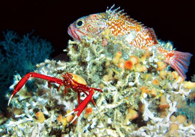 Corais de águas profundas