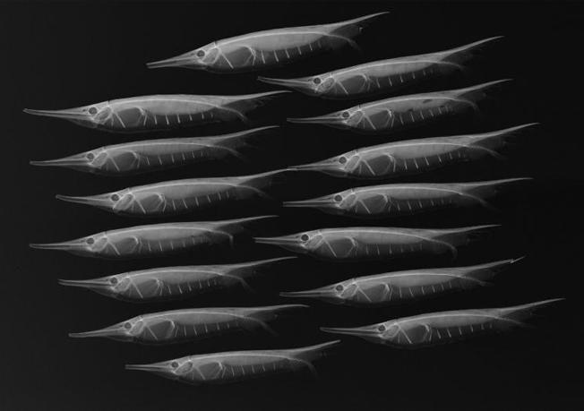 Raio-X do razorfish ou peixe-camarão