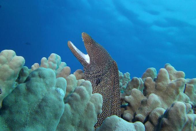 Moreia encontrada em corais. Foto: Barry Fackler