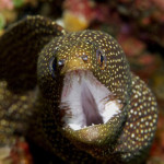 Moreia Guineafowl. Foto: Wolcott Henry