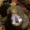 Oceano: Moreia Guineafowl