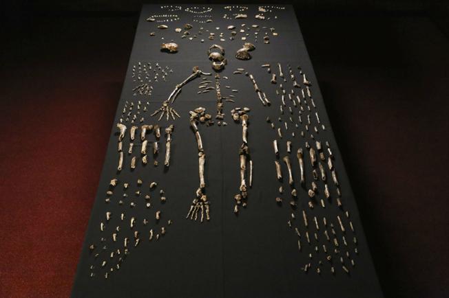 Fósseis: ossos de diversos indivíduos naledi que juntos formaram o conjunto da parte central da imagem. Foto: Lee Roger Berger research team (http://elifesciences.org/content/4/e09560) via Wikimedia Commons