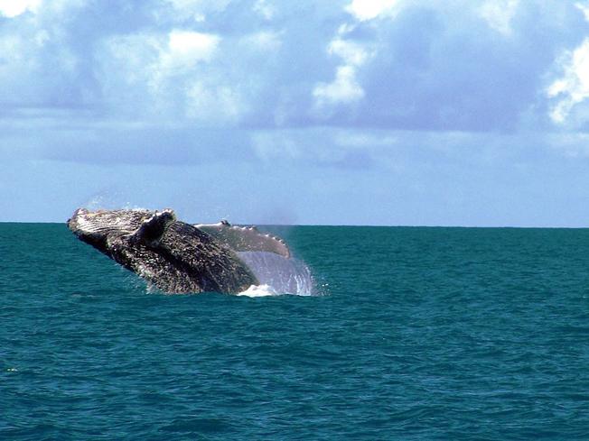 Baleia Jubarte subindo à superfície em Abrolhos. Foto: Amnemona (Marina C. Vinhal) (Flickr) via Wikimedia Commons
