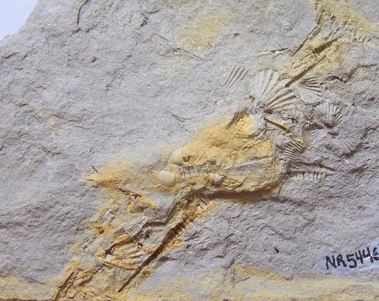 Tentaculitoideos viveram há 400 milhões de anos nos mares gelados que então cobriam partes do território brasileiro (foto: Tentaculitoideos do gênero Homoctenus da bacia do Paraná/Coleção do Laboratório de Paleontologia da UFPR/Jeanninny Carla Comniskey)