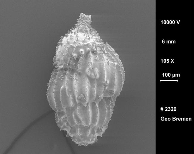 Uvigerina: concha microscópica de espécime encontrado nos sedimentos marinhos, cuja composição química e isotópica possibilita fazer reconstituições paleoclimáticas. (Imagens de microscópio eletrônico de varredura/acervo do pesquisador)