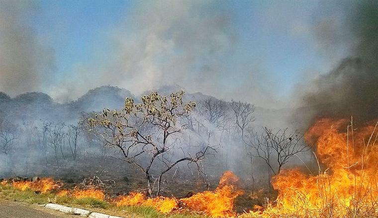 Pesquisa comprovou que a maioria das sementes resiste às altas temperaturas, ou seja, à passagem do fogo. Foto: Wikimedia Commons