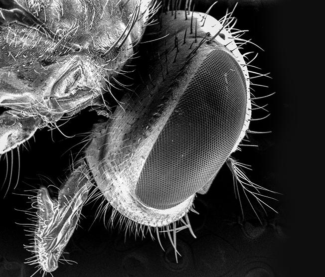 Micrografia feita com microscopia de varredura da mosca doméstica. Foto: divulgação