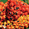 Guaraná tem potencial antioxidante maior do que chá verde, constata estudo