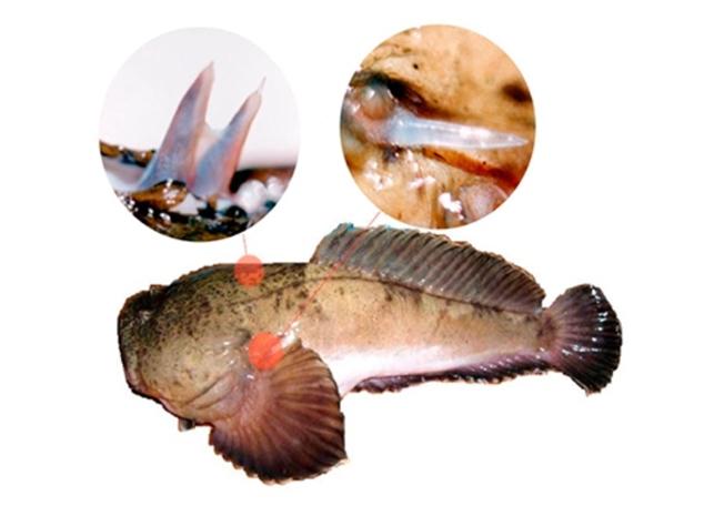 Pesquisadores do Butantan, que haviam desenvolvido solução contra picada do niquim, descobrem na peçonha do peixe um peptídio com atividade antiinflamatória para esclerose múltipla (Thalassophryne nattereri e seus espinhos venenosos). Foto: divulgação / Butantan