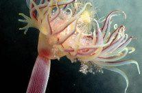 Estudo reúne dados sobre 958 tipos de águas-vivas sul-americanas, vídeo