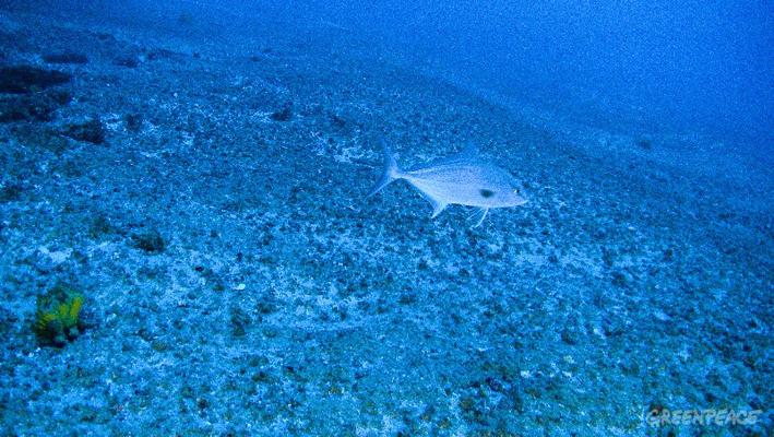 O peixe olho-de-boi, ou olhete, nada sobre uma cama de rodolitos, com esponja amarela ao fundo. Foto Greenpeace