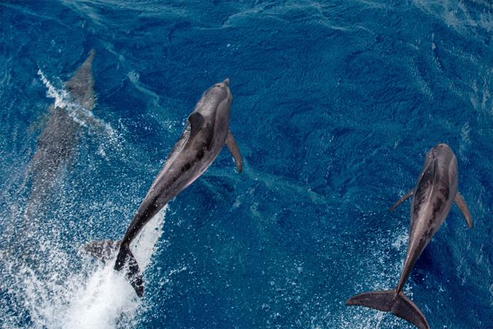Não temos imagens dos golfinhos que nadaram com a gente de noite, mas temos esses que nos visitaram durante o dia. Foto: ©Marizilda Cruppe/Greenpeace