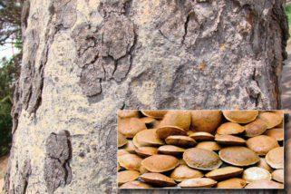 Cantinho das Plantas – Sucupira: para dores nas articulações, vídeo