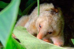 Tamanduaí não tem uma única espécie, mas pelo menos sete