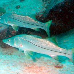 Ausência de políticas de conservação de cardumes ameaça espécies de peixes
