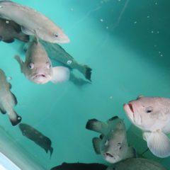 Instituto de Pesca inaugura laboratório de peixes marinhos nativos, downloads