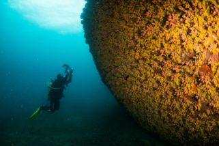 Coral invasor da costa brasileira apresenta grande capacidade de regeneração