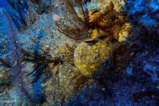 A rica biodiversidade dos Corais da Amazônia