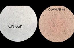 Pesquisadores da USP produzem coronavírus em laboratório