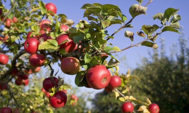 Os benefícios da maçã