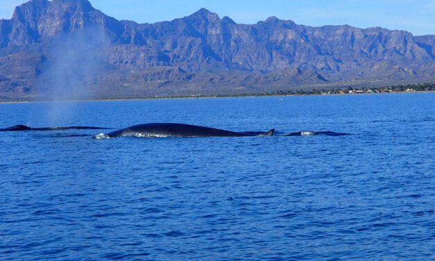 Baleia Azul, o gigante dos oceanos