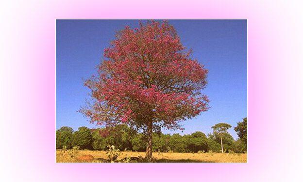 Pau-rosa: sua própria essência quase o levou à extinção